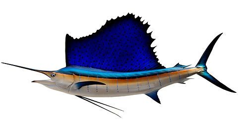 Atlantic Sailfish - BigWater Adventures