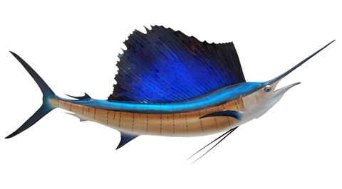 Image result for pacific sailfish