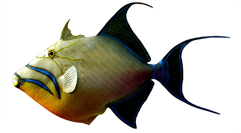 Queen Triggerfish Teeth Queen Trigger -...
