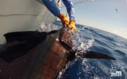 Sailfish Boatside